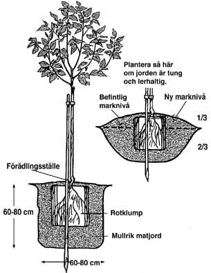 Planteringsavstånd äppelträd